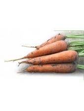 Мацури F1 - морковь, 10 000 семян, Kitano (Китано), Япония