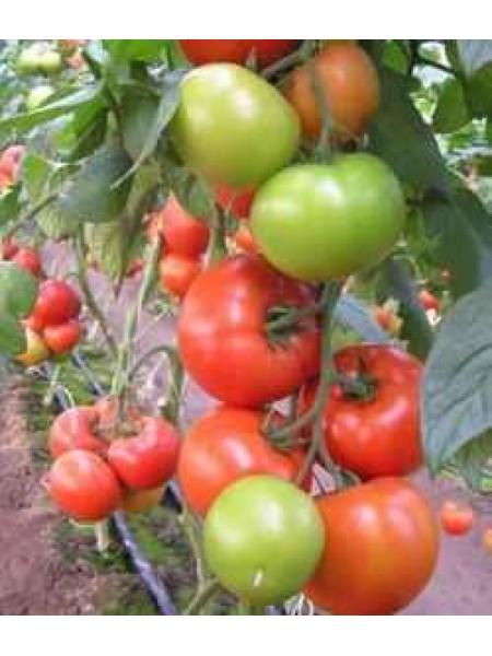 Матиас F1 - томат 500 семян, Seminis