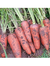Санта Круз F1 - морковь (1,6 - 1,8), 1000 000 семян, Seminis Голландия