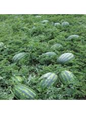 Леди F1 - семена арбуза, 1 000 семян, Nunhems/Нунемс (Голландия)