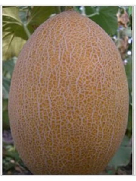 Радмила F1 - дыня, 1000 семян, Yuksel Tohum