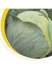 Кастелло F1 - капуста белокочанная, 2500 семян калиброванных, Nickerson Zwaan