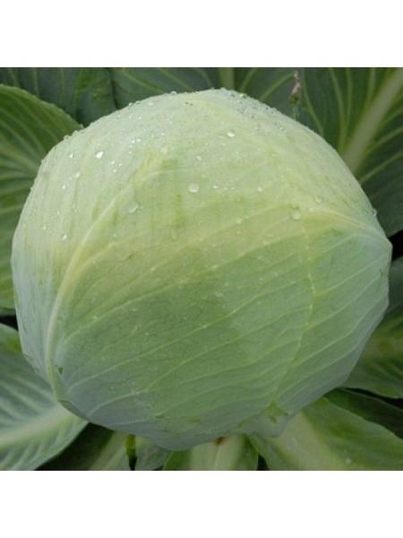 Золтан F1(NiZ 17-1265 F1) - капуста белокочанная, 2500 семян калиброванных, Nickerson Zwaan