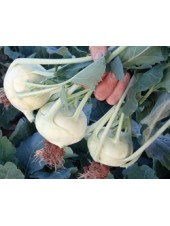 Корист F1 - капуста кольраби, 2500 семян,Bejo, Голландия