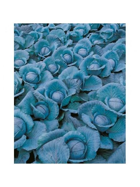 Примьеро F1 - капуста краснокочанная, 2 500 семян, Bejo (Бейо), Голландия