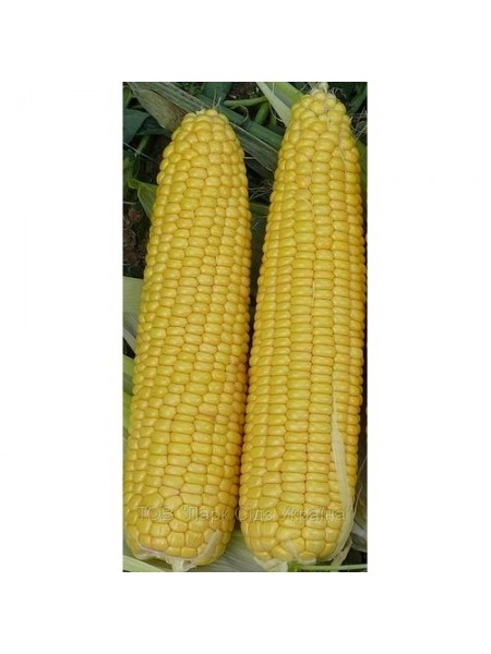 Добрыня F1 - кукуруза сахарная, 2500 сем, (Lark Seeds)