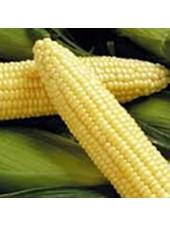 ГН (GH) 2041 F1 - кукуруза сахарная, 100 000 семян, Syngenta (Сингента), Голландия