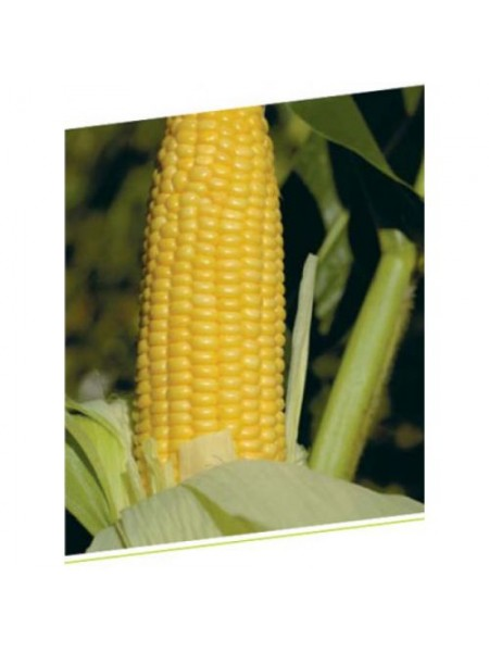 ГН (GH) 2042 F1 - кукуруза сахарная, 100 000 семян, Syngenta (Сингента), Голландия