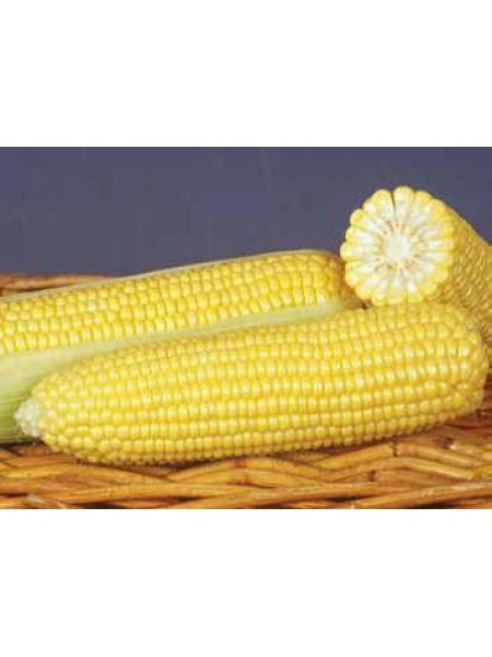 ГСС (GSS) 8529 F1 - кукуруза сахарная, 100 000 семян, Syngenta (Голландия)