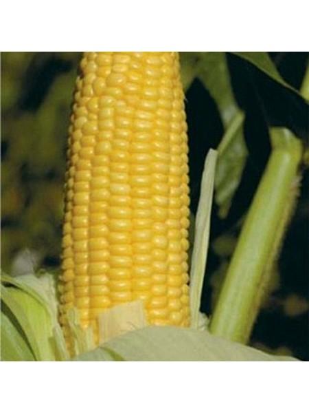 Уокер F1 - кукуруза сахарная, 25 000 сем, (Lark Seeds)