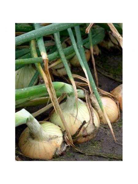 Балстар F1 - лук репчатый озимый, 250 000 семян, Seminis Голландия