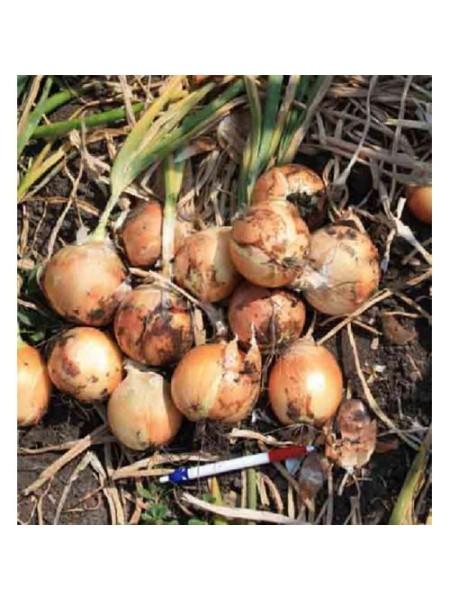 Т 803 F1 - лук репчатый, 250 000 семян,Takii Seed Япония