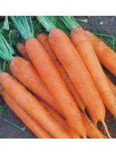 Матч F1 - морковь Нантского типа, 25000 семян, Clause (Клоз) Франция