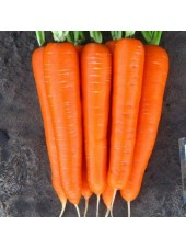 Элеганза F1 - морковь , калибровка 1,8-2,0, 100 000 семян, Nunhems (Нунемс) Голландия