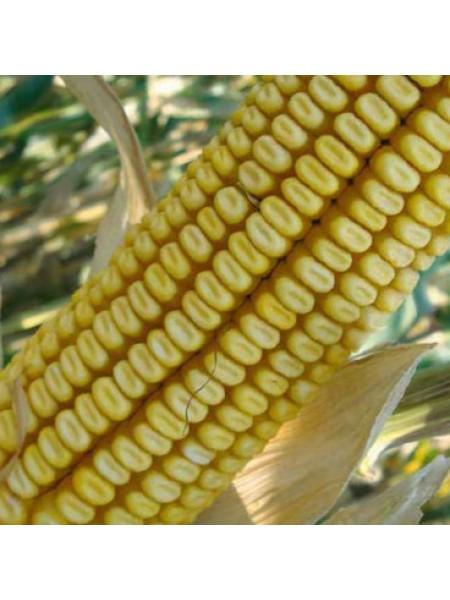 ДКС 3705 - кукуруза, 80 000 семян, Monsanto (Монсанто), Украина