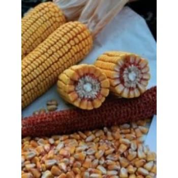 Купить PR38A79 - кукуруза, 80 000 семян, Pioneer (Пионер) в Украине, фото, описание, озывы