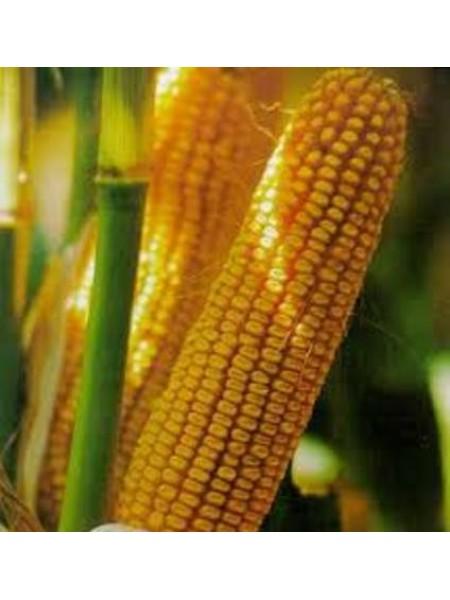 Яровец 243 МВ F1 - кукуруза кормовая, 3 000 семян, Мнагор, Украина