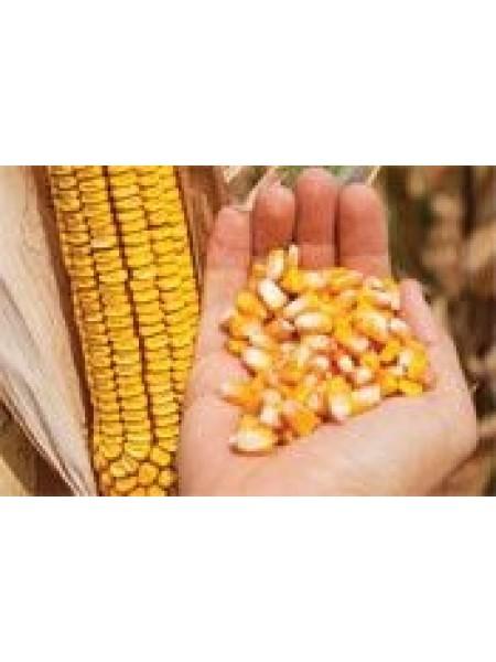 P8659 - кукуруза, 80 000 семян, Pioneer (Пионер)