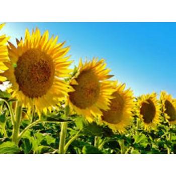 Купить P64LE19 - подсолнечник, 150 000 семян, Pioneer (Пионер) в Украине, фото, описание, озывы