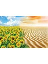Трансол КРУ - подсолнечник, 150 000 семян, Syngenta Голландия