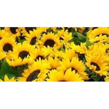 Купить P64LE11 - подсолнечник, 150 000 семян, Pioneer (Пионер) в Украине, фото, описание, озывы