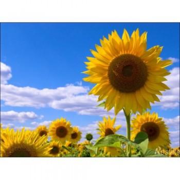 Купить PR64F50 - подсолнечник, 150 000 семян, Pioneer (Пионер) в Украине, фото, описание, озывы