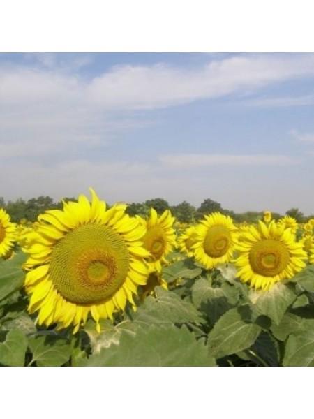 Арена ПР - подсолнечник, 150 000 семян, Syngenta Голландия