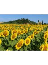 Казио - подсолнечник, 150 000 семян, Syngenta Голландия