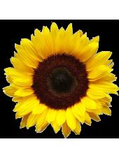 Ясон - семена подсолнечника, 1 п.е. 1000с - 66г, Харьковский Научный Институт, Украина
