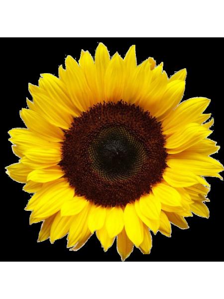 Ясон - семена подсолнечника, 1 п.е. 1000с - 74г, Харьковский Научный Институт, Украина