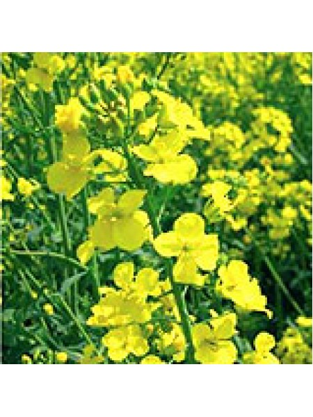 Эксагон, рапс, 1 п.е. (1,5 млн. шт), Monsanto/Монсанто (США)