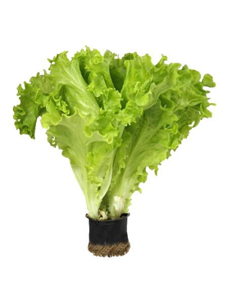Афицион - салат листовой, дражов. 1000 сем. Rijk Zwaan (Рийк Цваан) Голландія