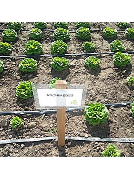 Архимедес - салат листовой, 5000 семян дражированных, Rijk Zwaan Голландия