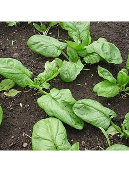 Боа - шпинат, 25 000 семян, Rijk Zwaan Голландия