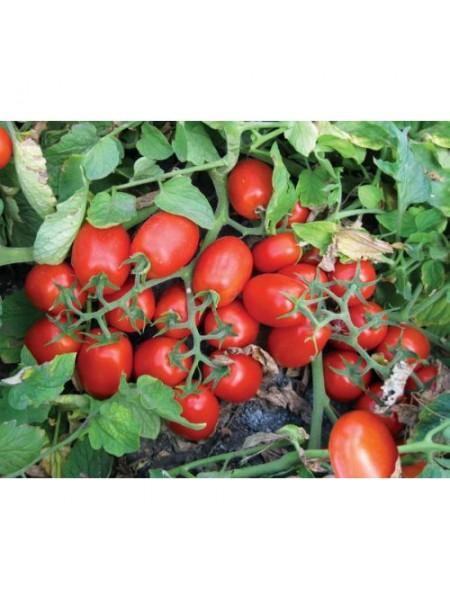 3402 F1 - томат детерминантный, 500 семян, (Lark Seeds)