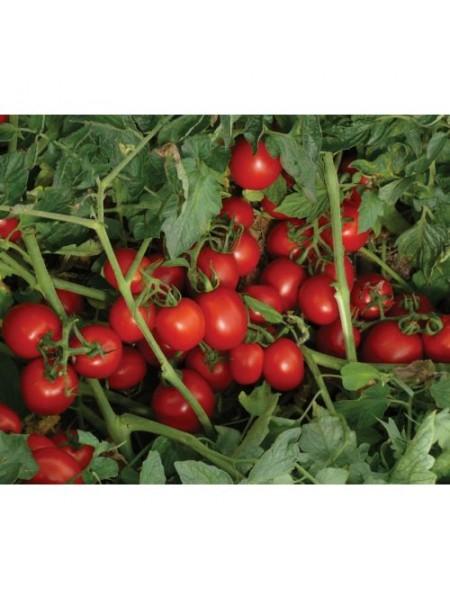 7204 F1 - томат детерминантный, 5000 семян, (Lark Seeds)