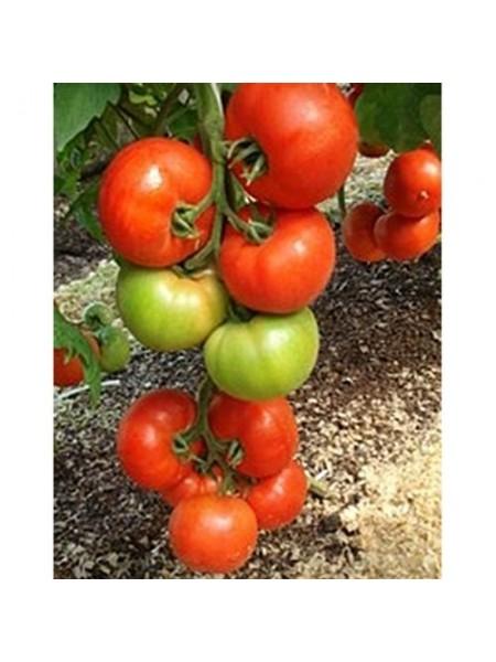 Алексия F1 - томат индетерминантный, 500 семян, Seminis (Семинис) Голландия