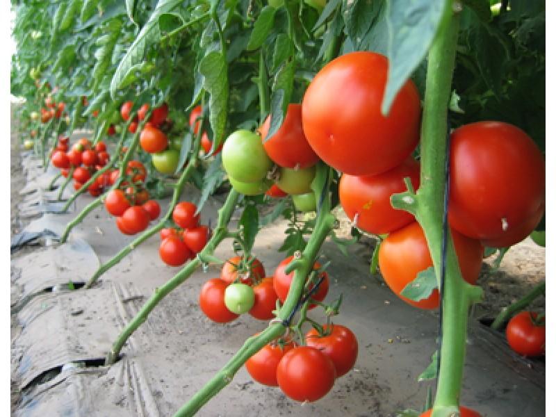 Помидоры парадайз выращивание 59