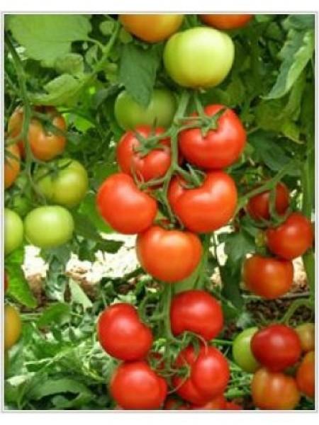 Анталия F1 - томат индетерминантный, 500 семян, Yuksel Tohum
