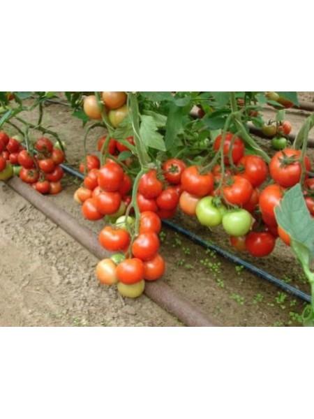 Монсан F1 - томат полудетерминантный, 250 семян, Enza Zaden Голландия