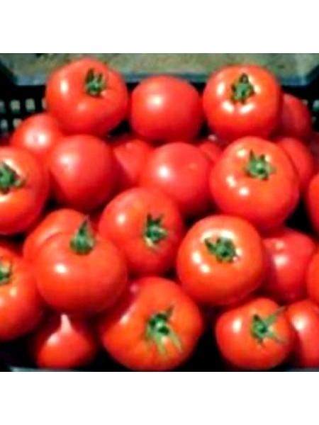 Аскай (4196) F1 - томат полудетерминантный, 500 семян, Nunhems (Нунемс) Голландия