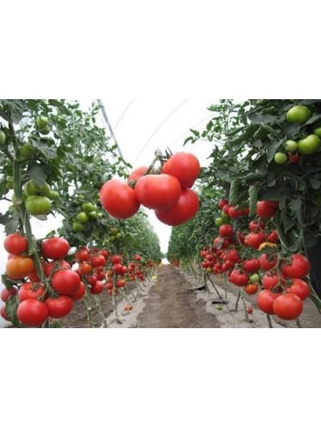 Аксай (4196) F1 - полудетерминантный томат, 500 семян, Nunhems (Нунемс) Голландия