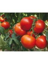 Панекра F1 - томат полудетерминантный, 500 семян, Syngenta (Сингента), Голландия