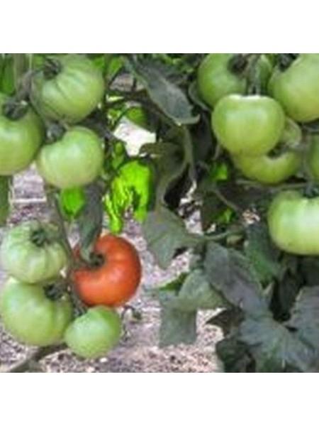 Альянс F1 - томат полудетерминантный, 250 семян, Clause Франция