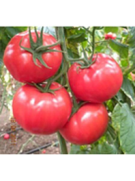 Леда F1 - томат полудетерминантный, 500 семян, Yuksel Seed (Юксел Сид) Турция